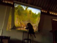 one of the less well behaved rescue dogs attacks a chicken on the screen during one of the educational films (for the second time)